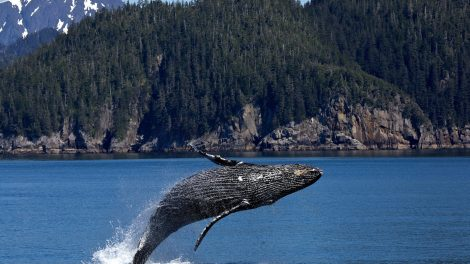 Scientists Hope to Understand Sperm Whales With the Use of AI